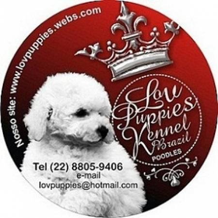 CANIL DE POODLES SOMENTE POODLES NAO CRIAMOS OUTRAS RACAS POODLE MICRO E POODLE TOY LOVPUPPIES