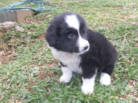 BORDER COLLIE LINDOS FILHOTES